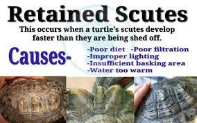Improper Shedding Bearded Dragon by Hard Water And Or Mineral Deposits On My Turtle U0027s Shell My