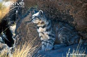 mountain cat andean cat photos and facts leopardus jacobita arkive