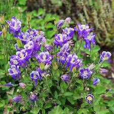 Abelia Mosanensis Hardy Abelia Broken Arrow Nursery