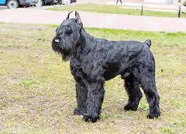 Big Lazy Non Shedding Dogs by Don U0027t You Dare Mess With These Dog Breeds They U0027re Aggressive
