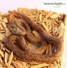 Ball Python Bedding by Snakes Archives Page 3 Of 4 Backwater Reptiles Blog