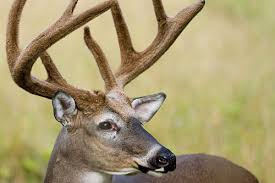 When Do Whitetails Shed Their Antlers by Whitetail Deer Facts Information And Photos American Expedition