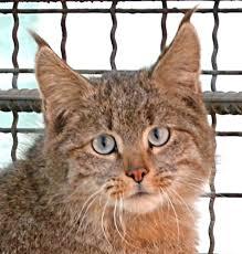 mountain cat file mountain cat felis bieti in xining zoo croped