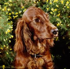 Red White Irish Setter Shedding by Choosing A Dog Breed Right For You Canadogs
