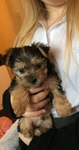 Morkies Do They Shed by Very Gentle Morkie Baby Boy Reserved Cambridge