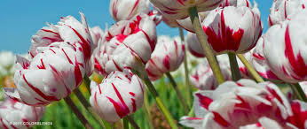 tulip bulbs item 1553 semper maxima for sale