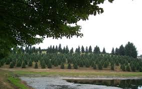 Nordmann Fir Christmas Trees Wholesale by It U0027s Not Easy Growing A Christmas Tree George Weigel Pennlive Com