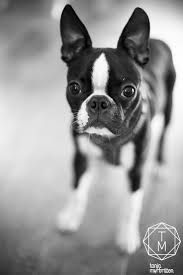 Beantown Bed And Biscuit by 89 Best Boston Terrier Fan Images On Pinterest Terrier Dogs