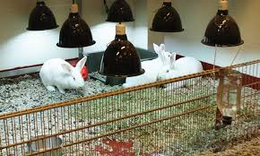 Uv Lamp Vitamin D Supplement by Shining Some Uv Light On Rabbit Husbandry Veterinary Medicine