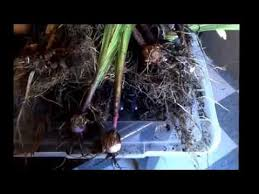 saving bulbs gladiolus for winter storage and reuse