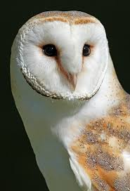 Barn Owl Clipart Big Eye - Pencil And In Color Barn Owl Clipart ... 382 Best Barn Owls Images On Pinterest Barn Owl Photos And Beautiful My Sisters Favorite It Used To Be Mine Pin By Hans De Graaf Uilen Bird Animal Totem Native American Zodiac Signs Birth Symbolism Meaning Dreams Spirit 1861 Snowy Saw Whets 741 Owls Birds 149 Animals 2 Snowy Owl Necklace Ceramic Pendant The Goddess Touch Animism Youtube Pole Trollgirl Deviantart