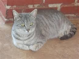shorthair cat price american shorthair for petsale inc