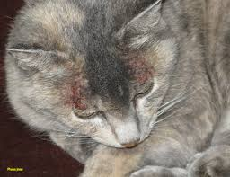 fleas on cats symptoms flea allergy in cats living with insects