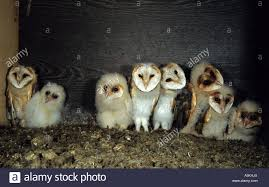 Barn Owl (Tyto Alba), Owl, Owlet In Nest Box Stock Photo, Royalty ... Chris Eastern Screech Owl Nest Box Cam For 2001 Three Cute Barn Owlets Getting Raised In Kodbakkam Chennai 077bojpg Needle Felted Owlet Baby Outdoor Alabama Escapes And Photography Owls Owlets At Charlecote Park Robin Loznak Barn Owls Oregon Overheated Chicks Rescued Hungry Project 132567 2568 2569 2570 The Wildlife Center Wallpaper Archives Trust Young Thrive On Harewood Estate House By Michael A Eccles