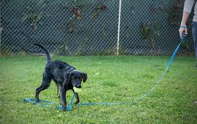 Long Training Dog Lead Leash By Prime Pet Source - Blue 20 Ft Dog Lead Do Female Dogs Get Periods How Often And Long Does The Period Dsc3763jpg The Best Retractable Dog Leash In 2017 Top 5 Leashes Compared Please Fence Me In Westward Ho To Seattle Traing Talk Teaching Your Come When Called Steemit For Outside December Pet Collars Chains At Ace Hdware Biglarge Reviews Buyers Guide Amazoncom 10 Foot With Padded Handle For Itt A Long Term Version Of I Found A Rabbit Wat Do