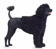 Portuguese Water Dog Non Shedding by Portuguese Water Dog Breed
