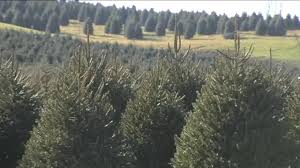 Pinecrest Christmas Tree Farm by Nationwide Christmas Tree Shortage Impacts Pa Farm 6abc Com