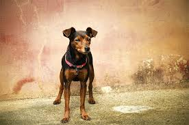 Rat Terrier Excessive Shedding by Manchester Terrier Dog Breed Information Pictures