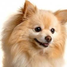 Small Dogs That Dont Shed by Types Of Dogs That Stay Small And Don T Shed Breed Dogs Picture