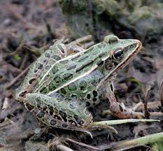 Northern Leopard Frog | What's In My Yard Ohios 15 Species Of Frogs And Toads At A Glance Trekohio 13 Illinois Toads Frogs Midwestern Plants A Container Pond To Host Fish I Want Make One With How Raise Pictures Wikihow Utah Division Wildlife Rources Focus On Long Legged Cute Sitting Couple Cartoon Style Garden The Frog Pond Coach Michele Motorbike Frog Wikipedia Shop 145in Statue Lowescom