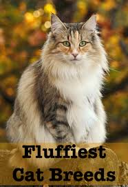 Siberian Cat Hair Shedding by Fluffiest Cat Breed Top 10 The Snuggliest Kitties Around