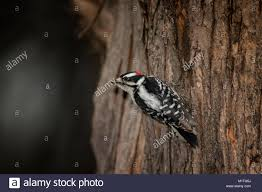 Male Downy Woodpecker On Tree Truck Stock Photo: 173257886 - Alamy 2009 Peterbilt 367 For Sale In Pendleton Oregon Truckpapercom Freds Fire Truck Kiddie Ride Early Version This Ride R Flickr Garage Tech With Randy Rundle October 2015 Woody Woodpecker Engine Coin By Jolly Roger Youtube Timas Engine Made And Manufact Big Bend Boggswoodpecker Mud Bog Boggers Brawl Vol1 2018 Freightliner Pickup Cc Outtake The Ii At Work Eifs Armour On Twitter New Truck Wrap Looks Great Job Sites Female Downy Hears A While Eating Suet Driving Race Us Route 66 Tinylabkids