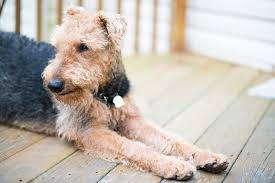 Do Airedale Puppies Shed by 20 Dog Breeds For Allergy Sufferers