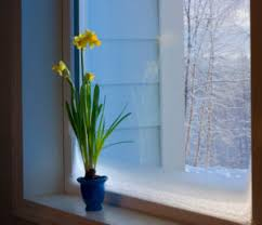 grow bulbs indoors this winter cache valley family magazine