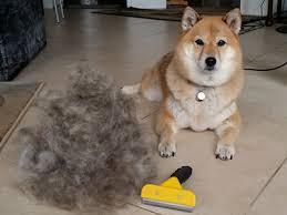 do haired akitas shed shiba inu grooming my shiba inu
