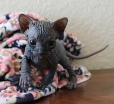 hairless cat price gallery dare2b bare sphynx