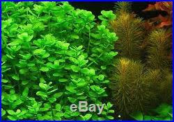 bacopa monnieri 10 moneywort easy live freshwater aquarium
