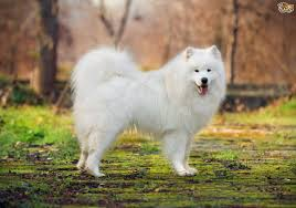 Do Samoyeds Shed All The Time some more information about the samoyed dog breed pets4homes
