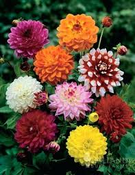 dahlia bulbs dahlia a dahlia bulbs for sale tasmania