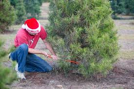 Christmas Tree Farm Eustis Fl by Christmas Tree Farm Milton Fl Beatiful Tree