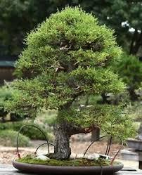 toller gestaltung eines bonsai s die i zimmer zypress i