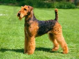 Do Airedale Puppies Shed airedale terrier breed guide learn about the airedale terrier