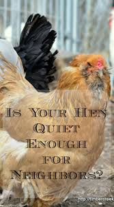 Quiet Chicken Breeds Uk With Quiet Chickens | Chicken Coop Design ... 14 Best Chicken Breeds Images On Pinterest Grandpas Feeders Automatic Feeder Standard 20lb Feed Backyard Chickens Norfolk Va 28 Run Selling Eggs From Uk My Marans Red Pyle Brahmas And Other Colours Backyard Chickens Page 53 Of 58 Backyard Ideas 2018 Derbyshire Redcaps Uk Cleaning Stock Photos Images Quietest Breeds Uk With Quiet Coop How To Keep Your Hens Laying All Winter Long Top 5 Tips A Newbie The