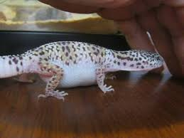 Crested Gecko Shed Stuck On Eye by Lizard Beans U2022 Leopard Gecko Care