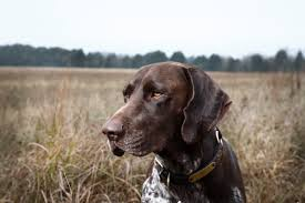 German Shorthaired Pointer Shedding by Why Dog Urine Causes Brown Spots On Grass