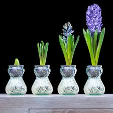 zyverden hyacinth kitblue bulbs with clear artisan glass