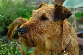 Hypoallergenic Dog Breeds That Dont Shed by 17 Smart Dogs That Dont Shed Golden Retriever Breed