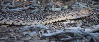 Bull Snakes - Sibley Nature Center Florida Brown Snake Backyard Snakes Is This A Copperhead Backyard Chickens Hornets Eating In My Rebrncom In Youtube Catcher Removes Mating Brown Snakes From Queensland Backyard Of Pennsylvania 21 Species 3 Them Venomous Pennlivecom The Lollipop Tree A Well Monster Lives My Slithering Nj Meet The 22 Snake Garden State Images Identify North Carolina Wsoctv Cooldesign Architecturenice Big Page 6 Talk Villages