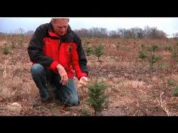 Types Of Christmas Trees To Plant by How Does A Christmas Tree Grow Christmas 2012 Youtube