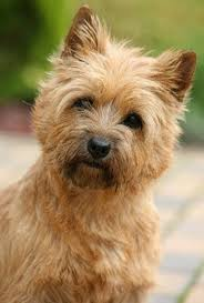 Non Shedding Hypoallergenic Dogs by 28 Cairn Terrier Non Shedding Dogs Cute Cairn Yorkshire