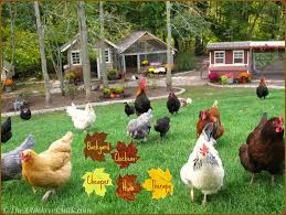 My Backyard Chickens 721 Best Chickens Ducks Images On Pinterest Keeping Your Healthy Backyard The Chicken Chick Salpingitis Lash Eggs In Backyard Vignette Design Design Bucket List 4 10 Things Ive Learned In My First Year Of Having Benefits Urban Farming Raising 3 Steps With Pictures Hipster Easter Here Are Some Organic Soyfree Naturally Flystrike Causes Back Juan Manuel Malnado Predators Myth Supervised