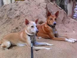 Low Shedding Dogs In India by Indian Pariah Dogs Breed Information History And Facts Pets World