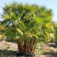 prix des palmiers exterieur palmier exotique et palmier tropical tropicaflore plantes exotiques