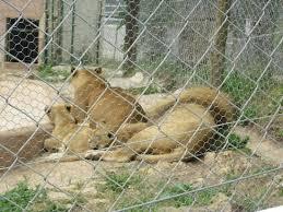l enclos d une famille de lions avec deux petits lionceaux qui n