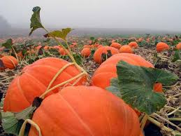 Closest Pumpkin Patch To Yankton Sd by Olga Tamara Amidttvedt On Pinterest