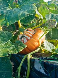 Varieties Of Pumpkins by The Best Types Of Squash And Pumpkins For Containers Hgtv